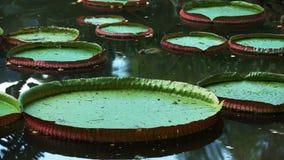 Κλείστε επάνω της γιγαντιαίας Αμαζώνας που αυξάνεται waterlily στο Ρίο απόθεμα βίντεο