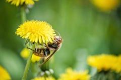 κλείστε επάνω της γιγαντιαίας κινηματογράφησης σε πρώτο πλάνο crabro Vespa hornet του hornet σε μια κίτρινη πικραλίδα ενάντια σε  στοκ εικόνες με δικαίωμα ελεύθερης χρήσης