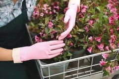 Κλείστε επάνω της γυναίκας παραδίδει τα ρόδινα γάντια κρατώντας τα όμορφα ρόδινα λουλούδια σε λίγο κάρρο κήπων Στοκ φωτογραφίες με δικαίωμα ελεύθερης χρήσης