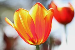 Κλείστε επάνω της εποχής πυροβολισμού λουλουδιών τουλιπών την άνοιξη σε Thailan Στοκ φωτογραφία με δικαίωμα ελεύθερης χρήσης