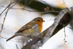 Κλείστε επάνω της ευρωπαϊκής Robin σε έναν κλάδο στοκ φωτογραφίες