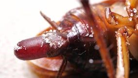 Κλείστε επάνω της κατσαρίδας απόθεμα βίντεο