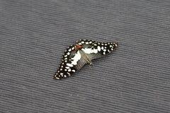 Κλείστε επάνω της μικρής πεταλούδας ασβέστη στον τάπητα στοκ εικόνα με δικαίωμα ελεύθερης χρήσης