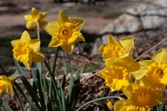 Κλείστε επάνω της ομάδας φωτεινού κίτρινου ελατηρίου Πάσχα daffodils ανθίζοντας έξω στην άνοιξη στοκ εικόνες
