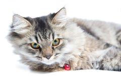 Κλείστε επάνω της περσικής γάτας Στοκ Εικόνες