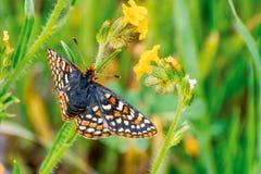 Κλείστε επάνω της πεταλούδας Checkerspot κόλπων το bayensis Euphydryas Editha  ταξινομημένος ως ομοσπονδιακά απειλητικό είδος, νό στοκ εικόνα