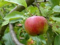 Κλείστε επάνω της πράσινης και κόκκινης ένωσης της Apple στο δέντρο Στοκ εικόνες με δικαίωμα ελεύθερης χρήσης
