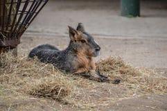 Κλείστε επάνω της Patagonian Mara στο ζωολογικό κήπο Άμστερνταμ Artis τις Κάτω Χώρες Στοκ φωτογραφία με δικαίωμα ελεύθερης χρήσης