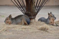 Κλείστε επάνω της Patagonian Mara στο ζωολογικό κήπο Άμστερνταμ Artis τις Κάτω Χώρες Στοκ Εικόνες