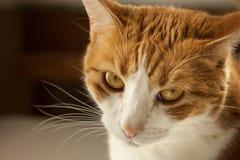 Κλείστε επάνω τη γάτα γατακιών εξετάζοντας τα μουστάκια γατακιών καμερών και τα μάτια γατών που τονίζονται στοκ φωτογραφία