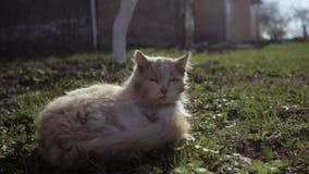 Κλείστε επάνω τη γάτα κοισμένος μετά από να παλεψει με άλλη γάτα, η γάτα τραυματίζει μερικούς Η γάτα είναι μετά από μια πάλη που  απόθεμα βίντεο