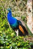 Κλείστε επάνω τη δευτερεύουσα εικόνα σχεδιαγράμματος ενός δονούμενου ινδικού Peacock στοκ εικόνες