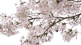 Κλείστε επάνω τη λεπτομέρεια στο δέντρο ανθών κερασιών απόθεμα βίντεο
