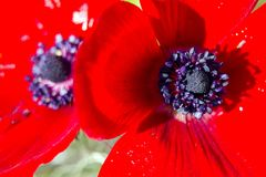 Κλείστε επάνω τη μακρο άποψη του ανθίζοντας κόκκινου τομέα λουλουδιών Anemone Coronaria Στοκ Φωτογραφία
