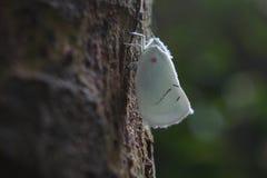 Κλείστε επάνω τη μακρο όμορφη άσπρη πεταλούδα στο δέντρο στοκ εικόνα