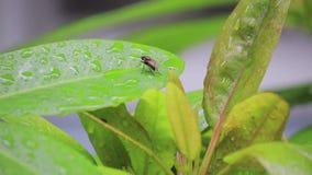 Κλείστε επάνω τη μύγα στα φύλλα απόθεμα βίντεο