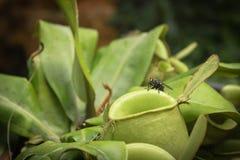 Κλείστε επάνω τη μύγα στο ampullaria εγκαταστάσεων ή Nepenthes σταμνών ή το φλυτζάνι πιθήκων Στοκ Φωτογραφίες