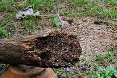 Κλείστε επάνω τη σύσταση και κτίστε τις φωλιές τερμιτών στον αποσυντιθειμένος κορμό του παλαιού μειωμένου δέντρου στοκ φωτογραφία με δικαίωμα ελεύθερης χρήσης