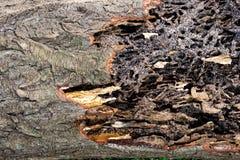 Κλείστε επάνω τη σύσταση και κτίστε τις φωλιές τερμιτών στον αποσυντιθειμένος κορμό του παλαιού μειωμένου δέντρου στοκ εικόνες