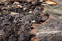 Κλείστε επάνω τη σύσταση και κτίστε τις φωλιές τερμιτών στον αποσυντιθειμένος κορμό του παλαιού μειωμένου δέντρου στοκ εικόνες με δικαίωμα ελεύθερης χρήσης