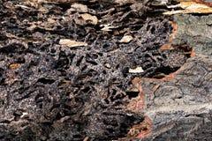 Κλείστε επάνω τη σύσταση και κτίστε τις φωλιές τερμιτών στον αποσυντιθειμένος κορμό του παλαιού μειωμένου δέντρου στοκ φωτογραφία