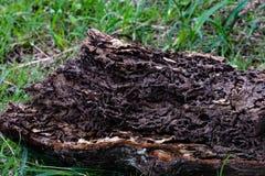 Κλείστε επάνω τη σύσταση και κτίστε τις φωλιές τερμιτών στον αποσυντιθειμένος κορμό του παλαιού μειωμένου δέντρου στοκ εικόνα με δικαίωμα ελεύθερης χρήσης