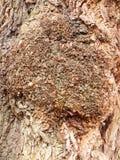 κλείστε επάνω τη σύσταση φλεβών του φλοιού που το δρύινο δέντρο κλείνει επάνω το υπόβαθρο Στοκ εικόνα με δικαίωμα ελεύθερης χρήσης