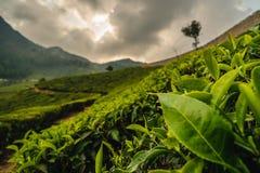 Κλείστε επάνω τη φυτεία munnar Κεράλα Ινδία τσαγιού φύλλων στοκ εικόνες