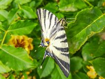 Κλείστε επάνω τη φωτογραφία με ένα podalirius butterflyIphiclides που στηρίζεται σε ένα φύλλο στοκ εικόνα με δικαίωμα ελεύθερης χρήσης