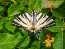 Κλείστε επάνω τη φωτογραφία με ένα podalirius Iphiclides πεταλούδων Στοκ Εικόνα
