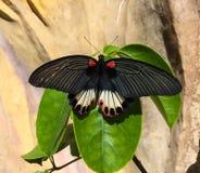 Κλείστε επάνω τη φωτογραφία με την πεταλούδα σε ένα φύλλο Βιετνάμ, DA Lat, χειμώνας Στοκ Εικόνες
