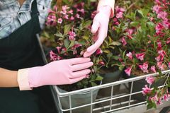 Κλείστε επάνω τη φωτογραφία της γυναίκας παραδίδει τα ρόδινα γάντια κρατώντας τα όμορφα ρόδινα λουλούδια σε ένα κάρρο κήπων Στοκ Φωτογραφία