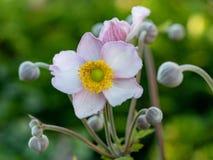 Κλείστε επάνω τη φωτογραφία του ιαπωνικού λουλουδιού hupehensis Anemone anemone Στοκ Εικόνα