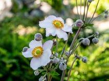 Κλείστε επάνω τη φωτογραφία του ιαπωνικού λουλουδιού hupehensis Anemone anemone Στοκ φωτογραφία με δικαίωμα ελεύθερης χρήσης
