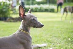 Κλείστε επάνω τη φωτογραφία του ιταλικού Greyhound κουταβιού με το χρυσό sitti περιλαίμιων στοκ εικόνα με δικαίωμα ελεύθερης χρήσης