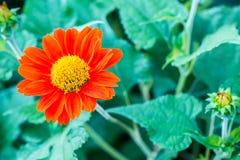 Κλείστε επάνω τη Zinnia, υπόβαθρο λουλουδιών νταλιών, ταπετσαρία, ζωηρό χρώμα λουλουδιών φύσης για το σκηνικό Στοκ Φωτογραφία