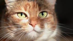 Κλείστε επάνω τις επιθέσεις γατών απόθεμα βίντεο