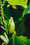 Κλείστε επάνω τις πράσινες ακατέργαστες μπανάνες Νέα πράσινη μπανάνα στο δέντρο Οι Unripe μπανάνες κλείνουν επάνω Στοκ εικόνες με δικαίωμα ελεύθερης χρήσης