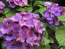 Κλείστε επάνω τις τεράστιες επανθίσεις του ρόδινου hydrangea στοκ φωτογραφίες