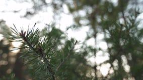 Κλείστε επάνω τον αργό κινούμενο πυροβολισμό των βελόνων του δέντρου πεύκων - πράσινο δάσος της βαλτικής χώρας Λετονία απόθεμα βίντεο