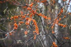 Κλείστε επάνω τον κλάδο των πορτοκαλιών μούρων λευκαγκαθιών με τα ξηρά φύλλα στο δάσος φθινοπώρου στοκ φωτογραφία