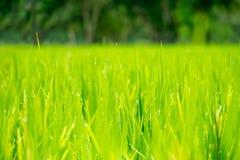 Κλείστε επάνω τον πράσινο τομέα ρυζιού με τη δροσιά νερού, υπόβαθρο γεωργίας Στοκ Φωτογραφίες
