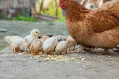 Κλείστε επάνω τους κίτρινους νεοσσούς στο πάτωμα, όμορφα κίτρινα μικρά κοτόπουλα, ομάδα κίτρινων νεοσσών στοκ εικόνες