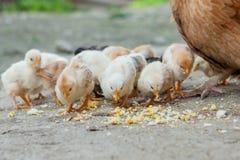 Κλείστε επάνω τους κίτρινους νεοσσούς στο πάτωμα, όμορφα κίτρινα μικρά κοτόπουλα, ομάδα κίτρινων νεοσσών στοκ εικόνα