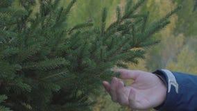 Κλείστε επάνω τους κομψούς κλάδους δέντρων έλατου αφής χεριών ατόμων με τις πράσινες βελόνες υπαίθρια απόθεμα βίντεο