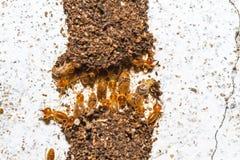 Κλείστε επάνω τους τερμίτες ή τα άσπρα μυρμήγκια που καταστρέφονται στο άσπρο σκυρόδεμα Στοκ Εικόνες