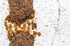 Κλείστε επάνω τους τερμίτες ή τα άσπρα μυρμήγκια που καταστρέφονται στο άσπρο σκυρόδεμα Στοκ εικόνες με δικαίωμα ελεύθερης χρήσης