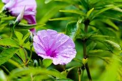 Κλείστε επάνω του ανθίζοντας φούξια λουλουδιού jalapa mirabilis με τις πτώσεις βροχής υπαίθριες με το πράσινο υπόβαθρο Στοκ Φωτογραφία