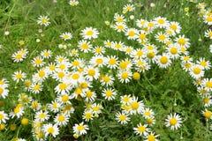 Κλείστε επάνω του ανθίζοντας chamomile τομέα Στοκ εικόνες με δικαίωμα ελεύθερης χρήσης