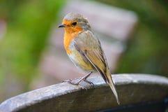 Κλείστε επάνω του απομονωμένου Robin στοκ εικόνα με δικαίωμα ελεύθερης χρήσης